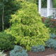 Gold_Mop_Cypress