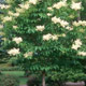 Ivory_Silk_Japanese_Lilac_Tree