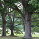 White_Oak_Tree