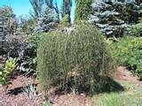 weeping caragana walker
